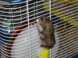 Hannah the Hamster